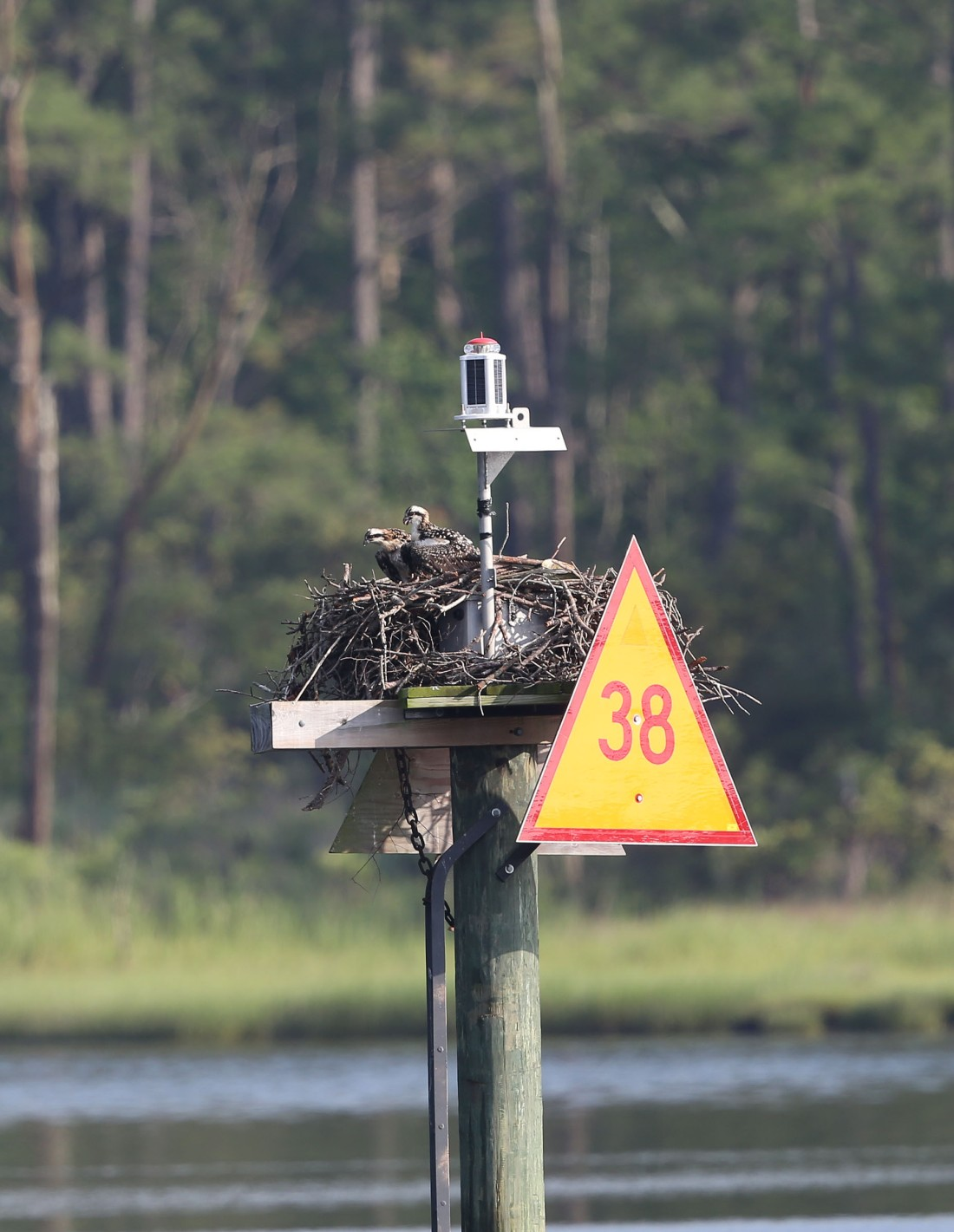 juvenile Ospreys in nest on channel marker