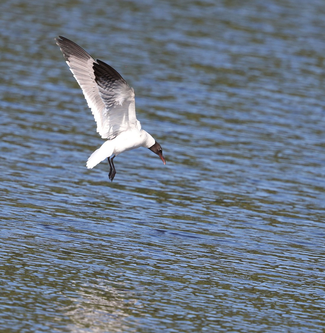 Laughing Gull diving for food