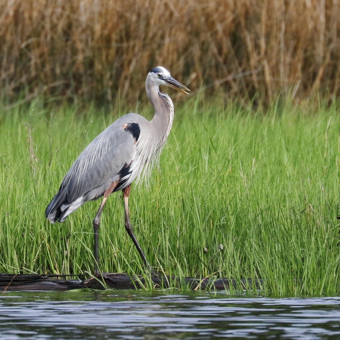 'chirping' Great Blue Heron