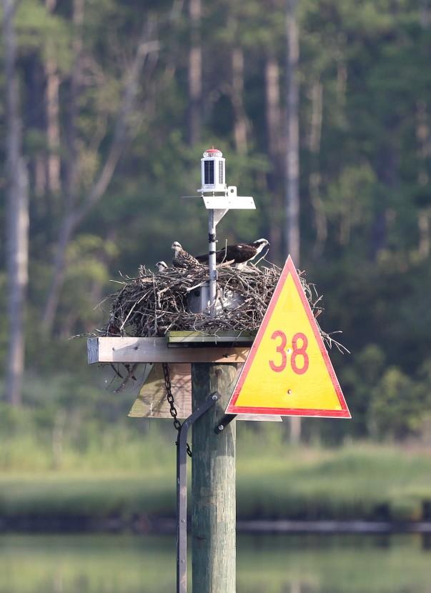 ospreys_on_nest