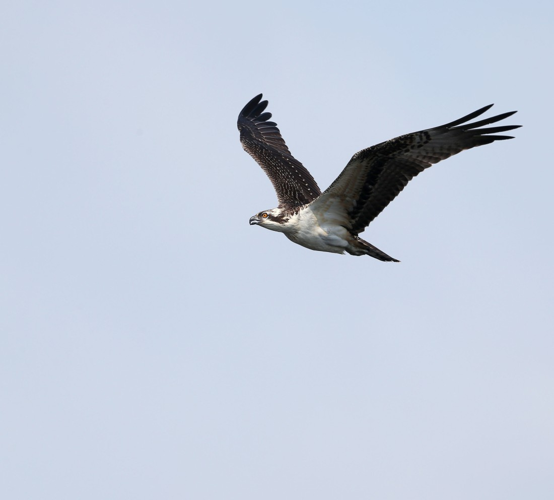 Immature Osprey in flight
