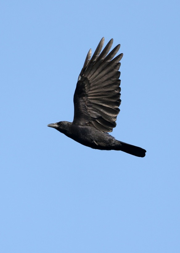 crow_in_flight