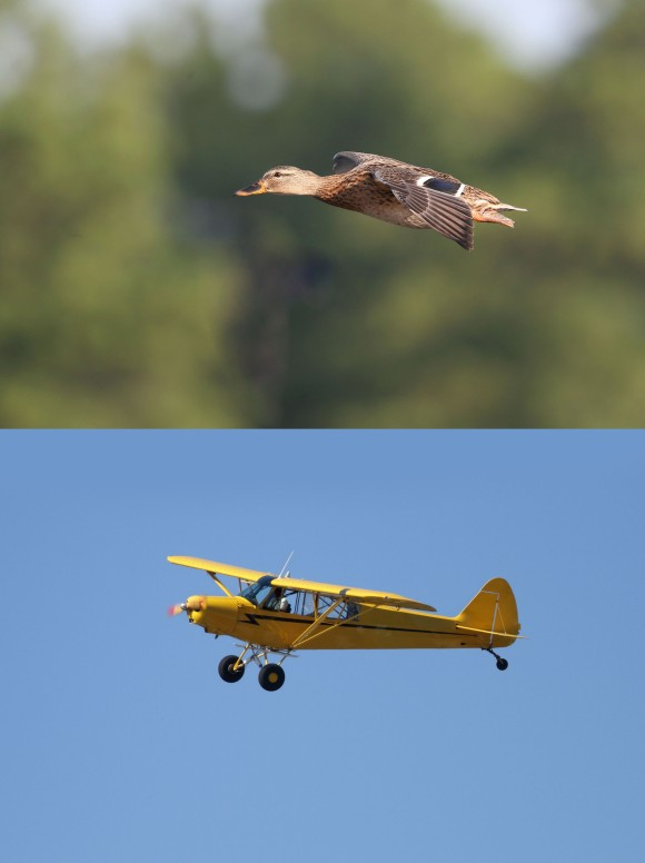 Flying Mallard duck and flying airplane composite
