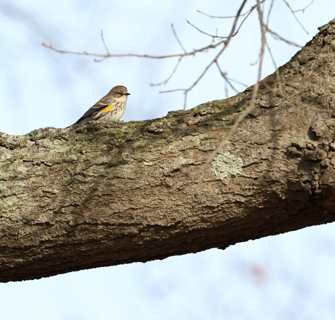 Yellow-rumped Warbler on a tree limb