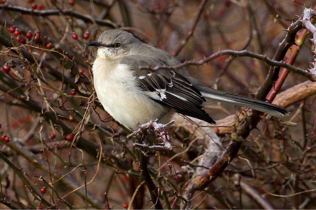 Northern Mockingbird in shrub