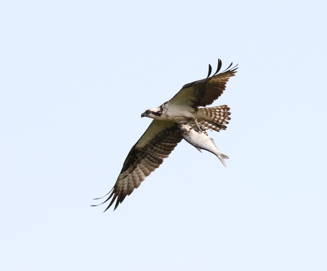 Osprey in flight and carrying a sizable fish