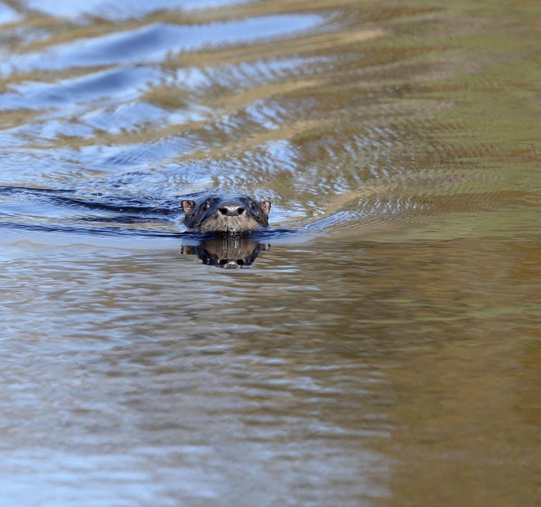 river otter in Mains Creek
