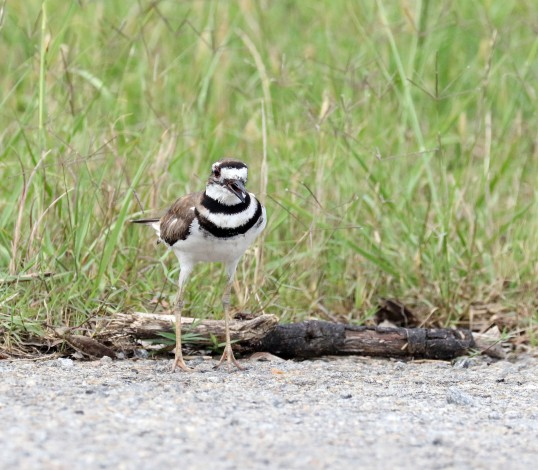 adult female Killdeer