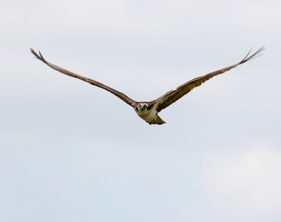 adult female Osprey