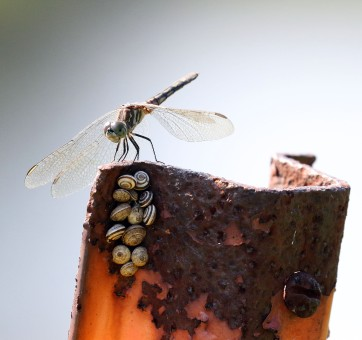 Dragonfly and land snail species on post