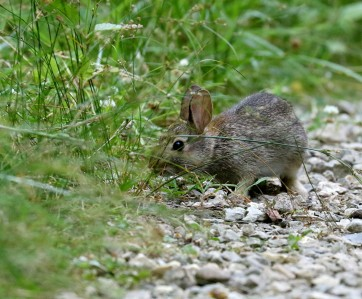 Eastern cottontail feeding