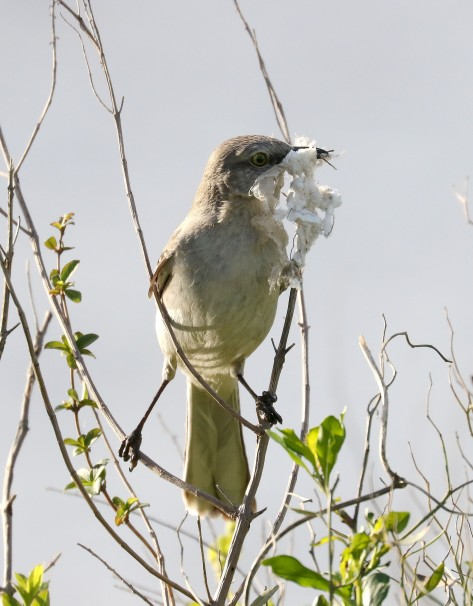 Northern Mockingbird with nesting material
