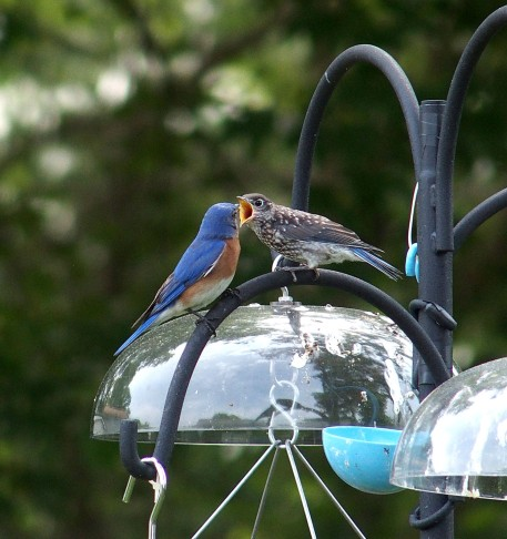 male Eastern Bluebird feeding young