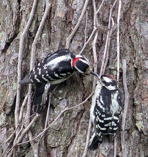 male Downy Woodpecker feeding young