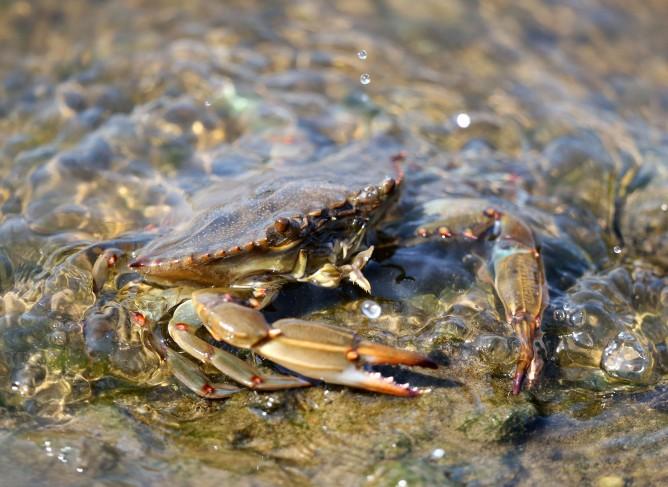blue crab in the Elizabeth River