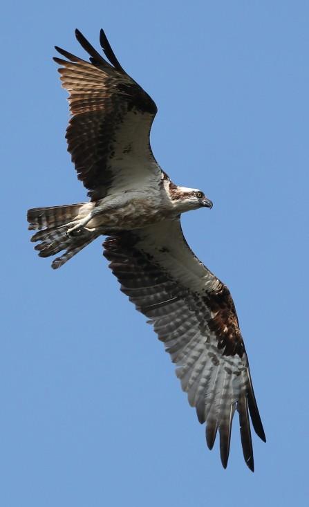young Osprey in flight