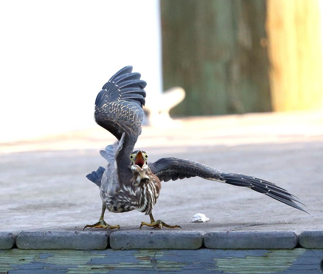 irate Green Heron