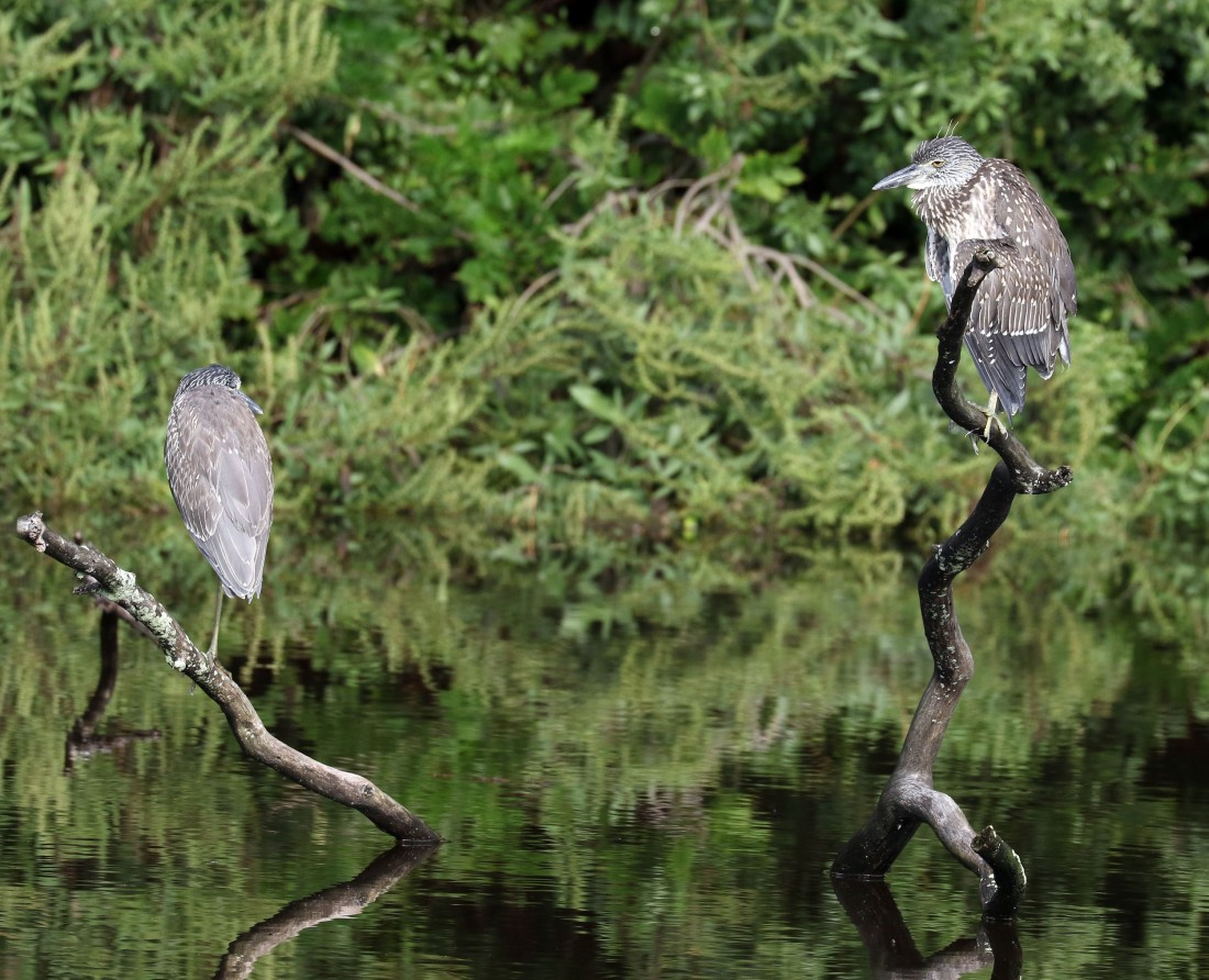 immature Yellow-crowned Night-Herons