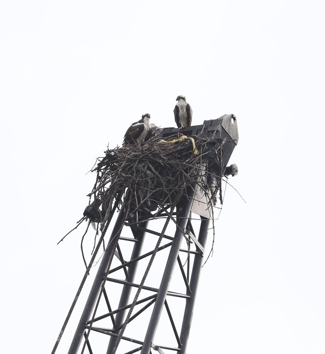 juvenile Ospreys atop crane