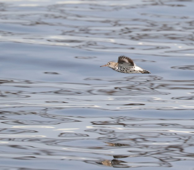Spotted Sandpiper in flight