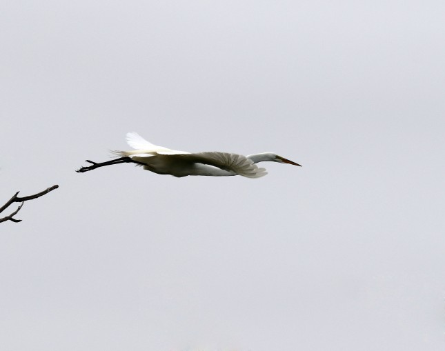 Great Egret launching from a tree limb