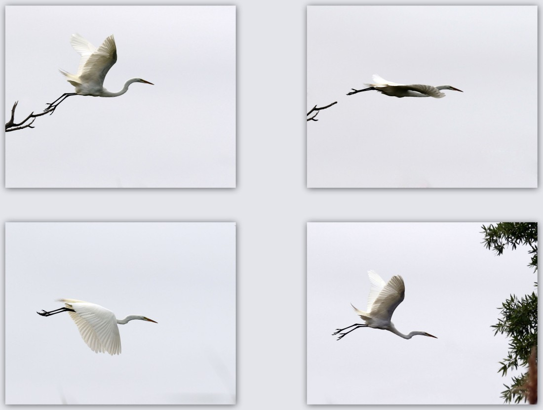 Great Egret flight sequence