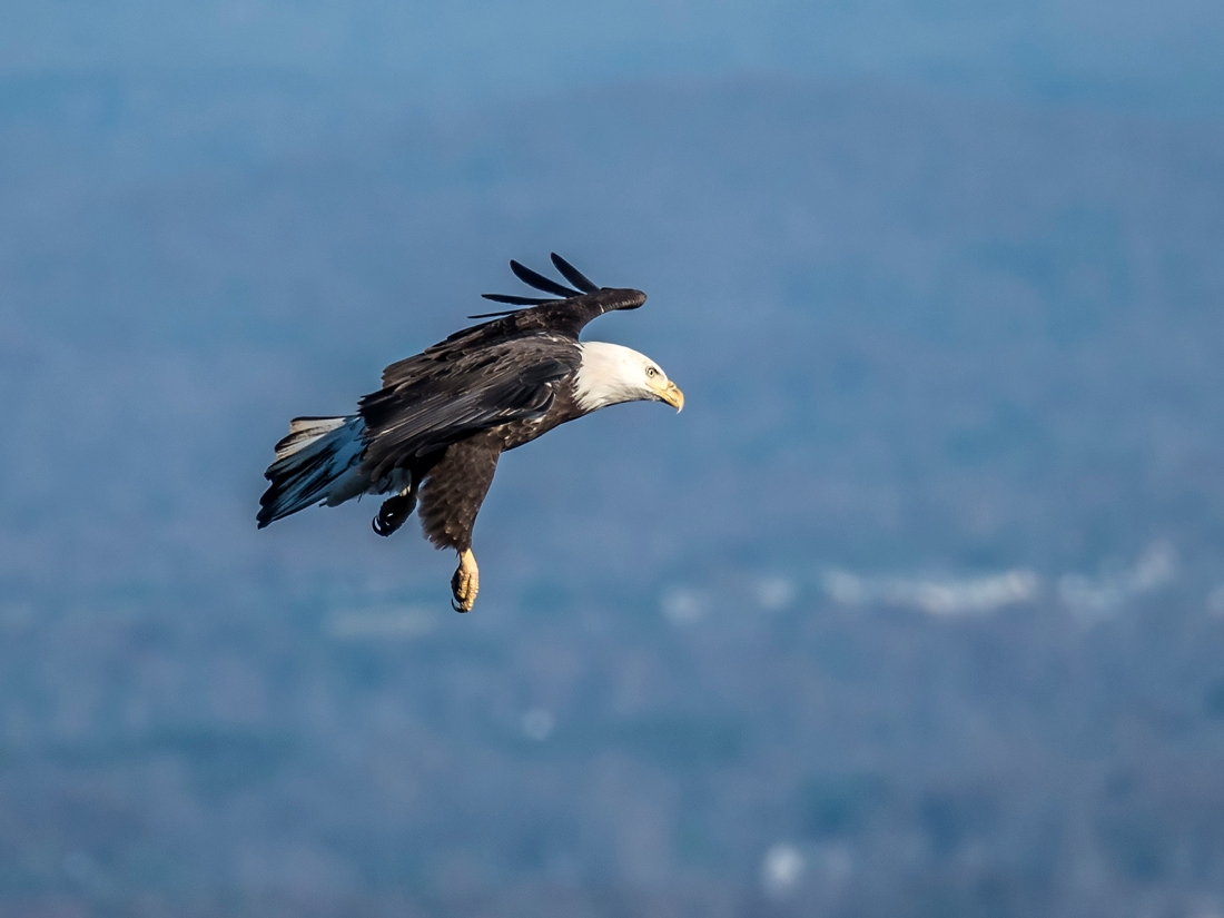 Bald Eagle about ready to land