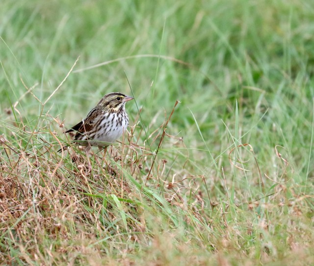 Savannah Sparrow on the ground
