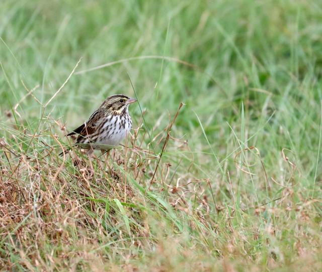 Savannah Sparrow on the ground