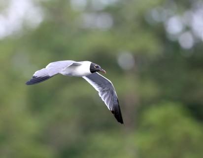 Laughing Gull