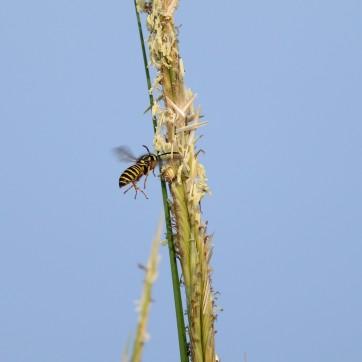 Yellowjacket on a plant