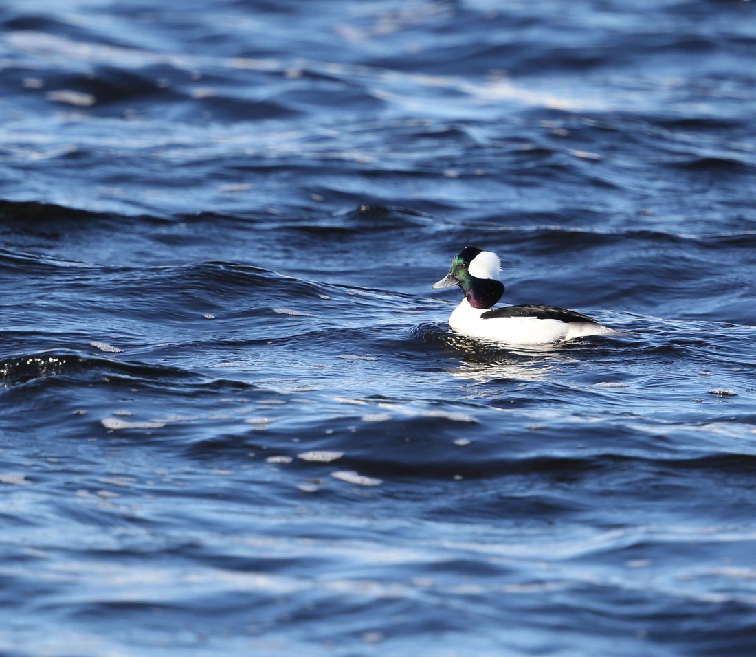 Male Bufflehead duck