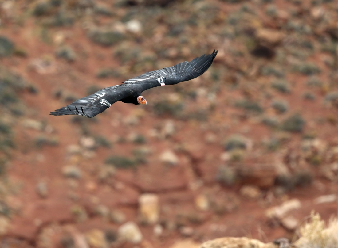 Soaring California Condor