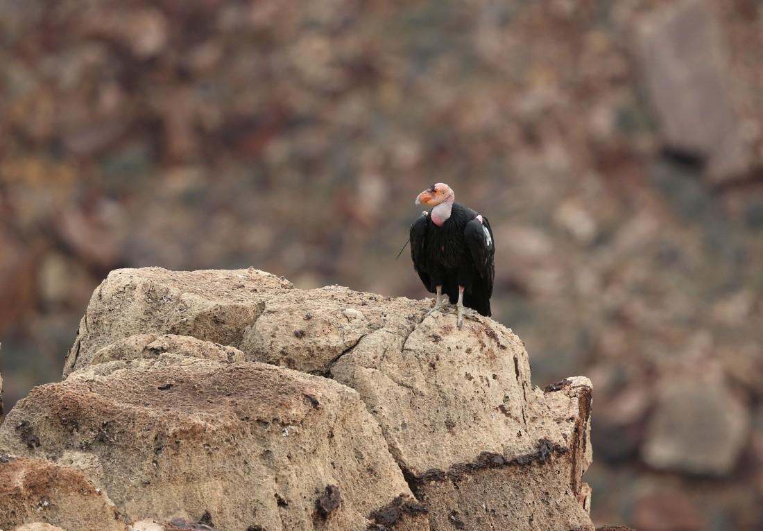 California Condor resting