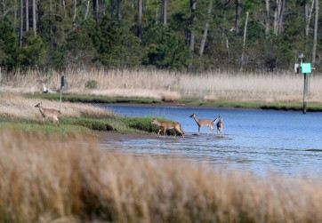 White-tailed deer on the riverbank