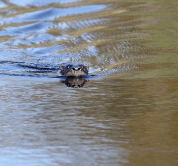 North American river otter in the Elizabeth River