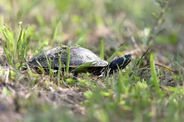 Coastal Plain Cooter (turtle)