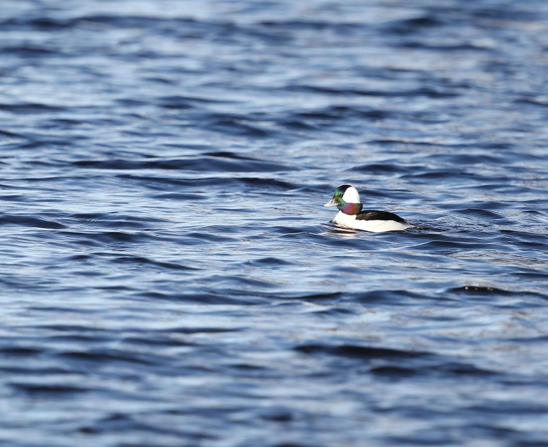 Male Bufflehead duck in the Elizabeth River