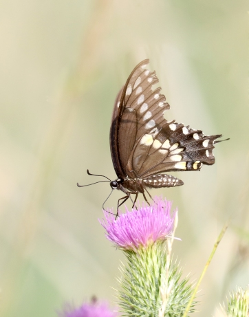 Black swallowtail butterfly on thistle plant