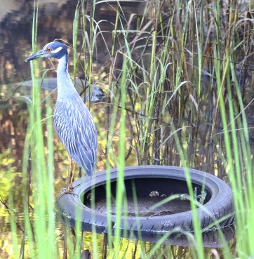 Yellow-crowned Night Heron on a tire in the river