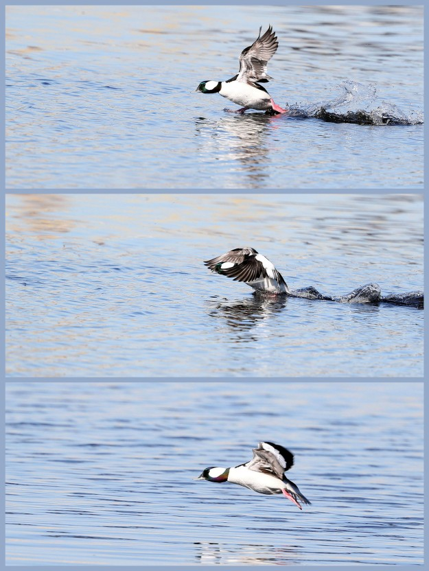 Bufflehead duck taking flight from the Elizabeth River