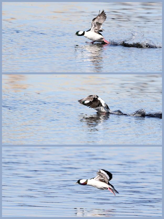 Bufflehead duck taking flight from the Elizabeth River