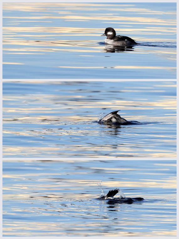 Female Bufflehead duck foraging in the Elizabeth River