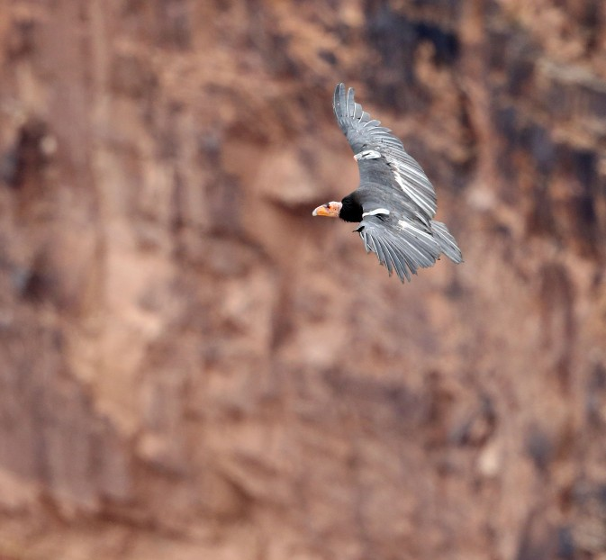 Newly-released California Condor in flight