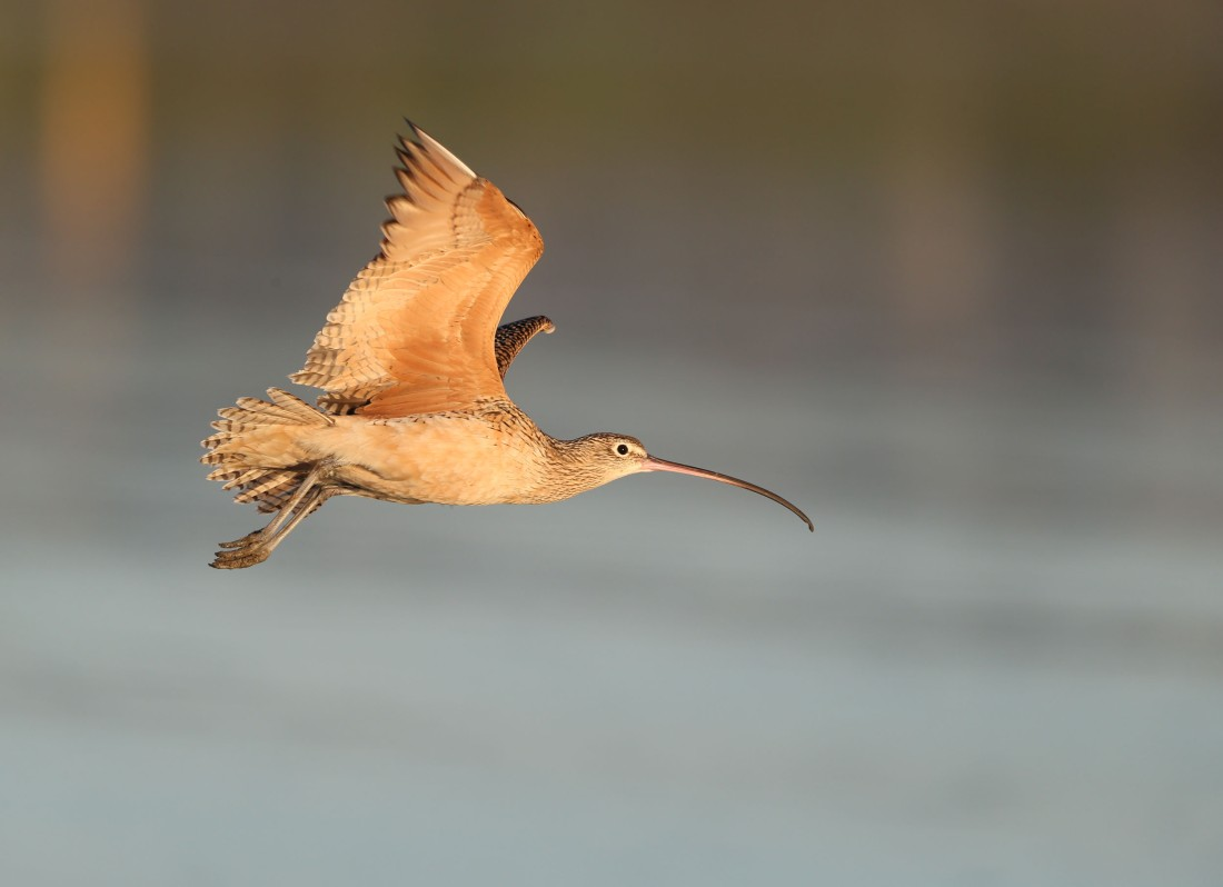Long-billed curlew in flight