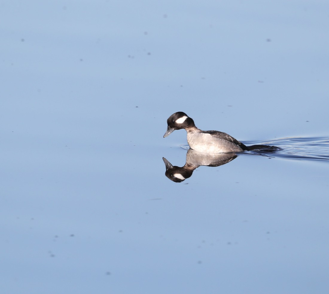 Female Bufflehead duck about to dive