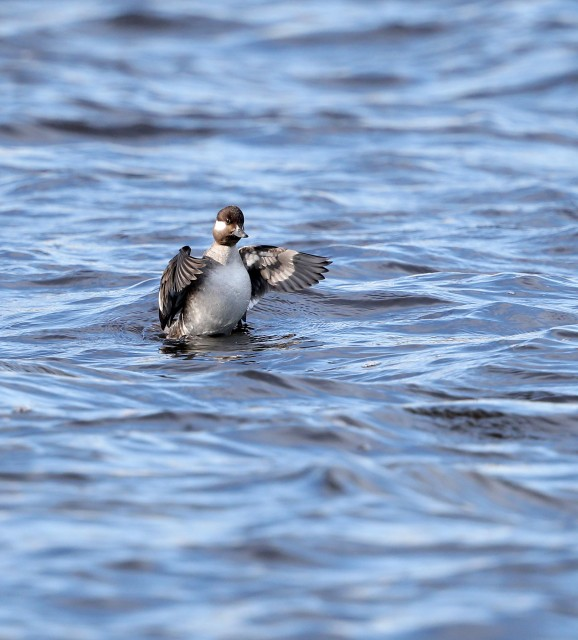 Female Bufflehead duck stretching in the Elizabeth River