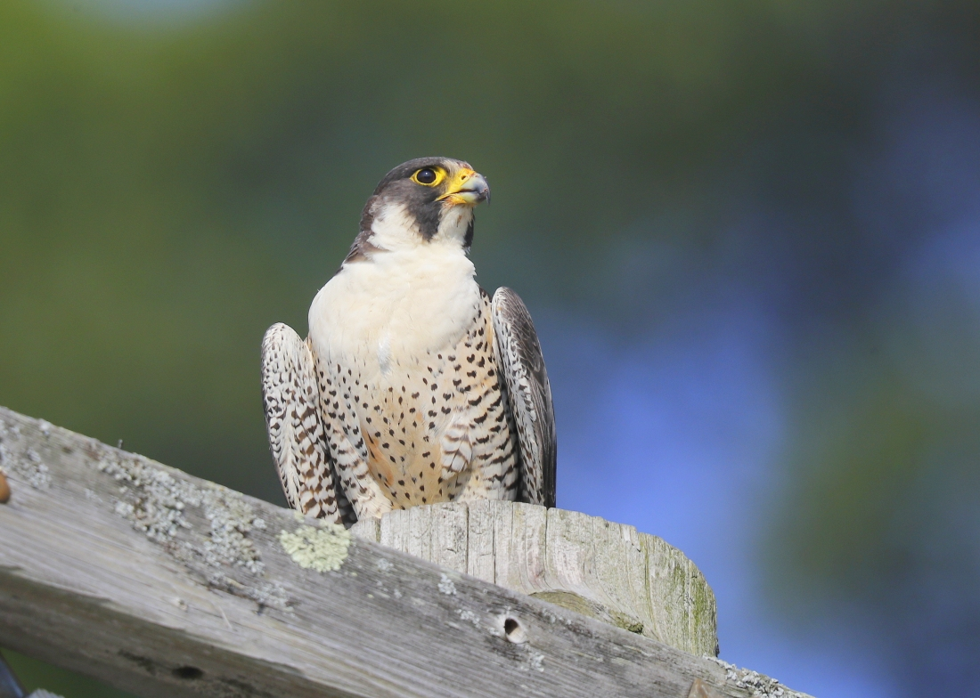 Peregrine Falcon perched