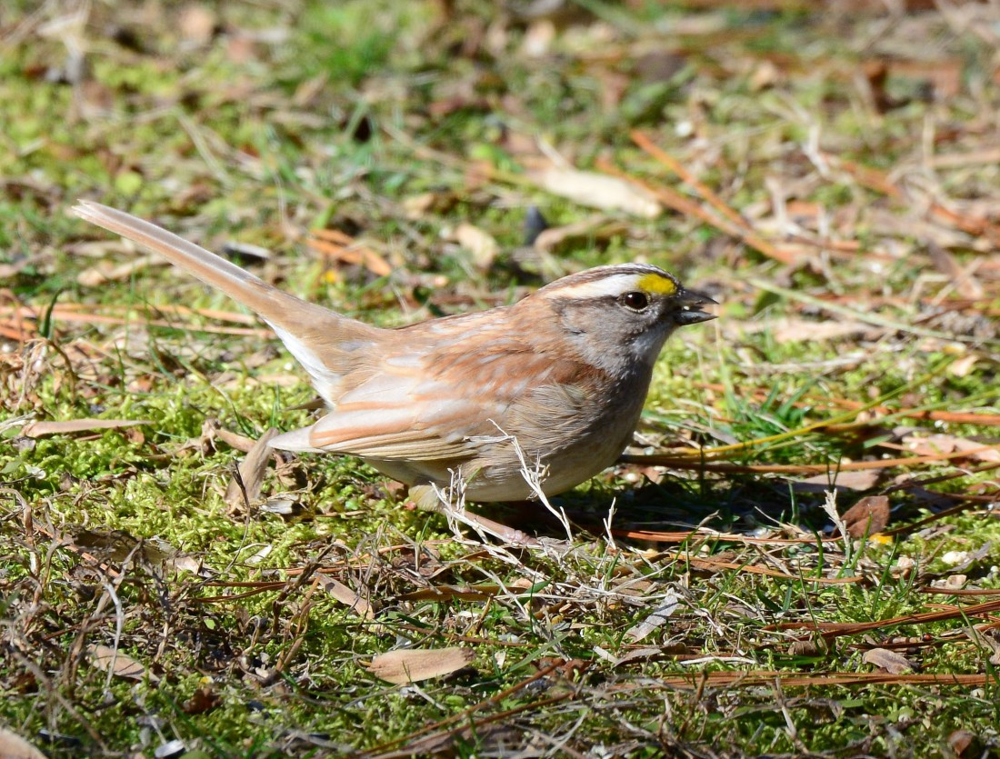 Leucistic White-crowned Sparrow on the ground