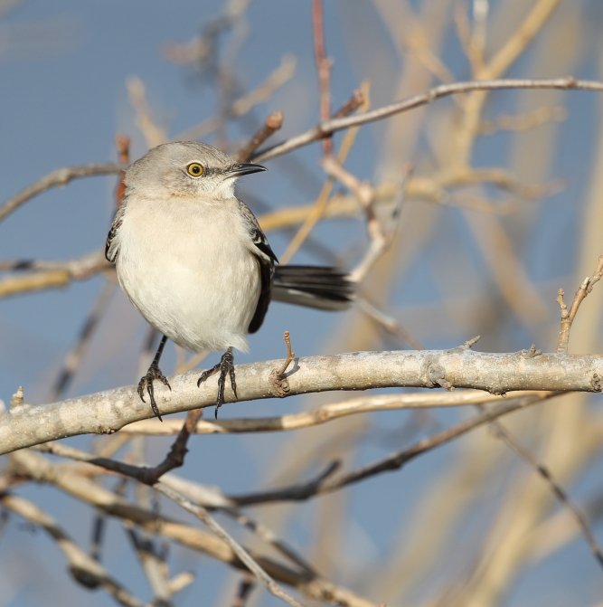 Northern Mockingbird perched